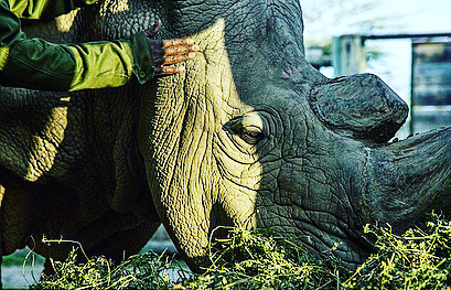 We are losing species at unprecedented speed. As we say #goodbye to the last male northern #WhiteRhino on earth, we hope this will serve as a widespread #WAKEUPCALL  Ways you can help: spread the word to consumers that animal goods such as ground up #rhinohorn & countless other animal parts on the market are unnecessary & proven to have no medical benefits.  Vote for leaders who believe in the value of protecting wildlife with legislation & laws banning the sale and import/export of ivory, horns, and other wildlife goods.  Donate to organizations that make a difference in various ways.  This is our opportunity to save the remaining species we have left & keep the beautiful circle of life intact. #RIP #Sudan #rhino #extinct #wildlife #loss #africa #elephant #rhinos #lions #conservation #stoppoaching #trafficking #blackmarket #animals #nature #earth #ripsudan #protect #wildlifeconservation #savetherhinos #zoo #ripsudan