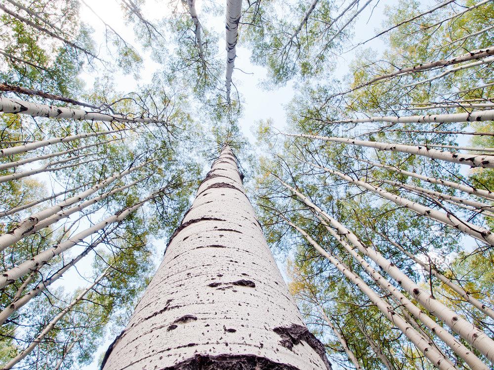 for webaspen-trees.jpg