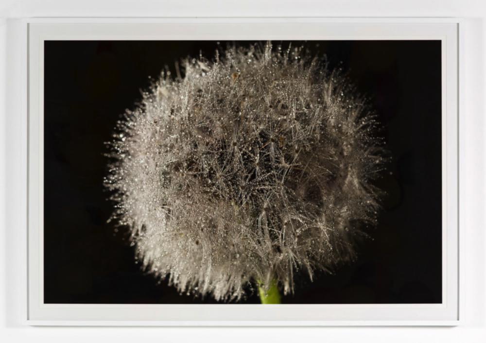 - Dandelion2016Archival pigment printedition of 540 x 30 inches