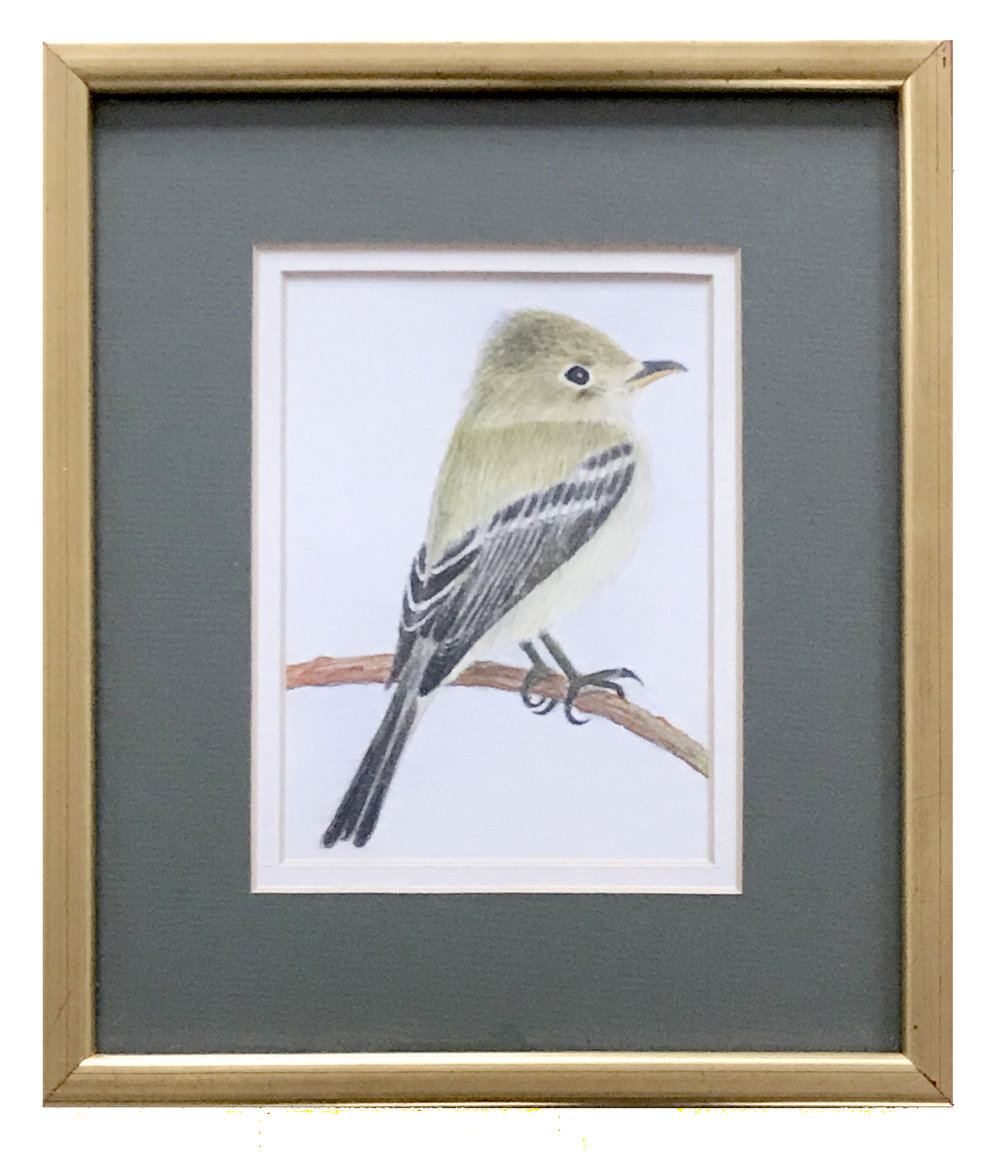 - Patrick CalkinsPacific-slope Flycatcher2016Colored pencil on paper7 x 5 inches