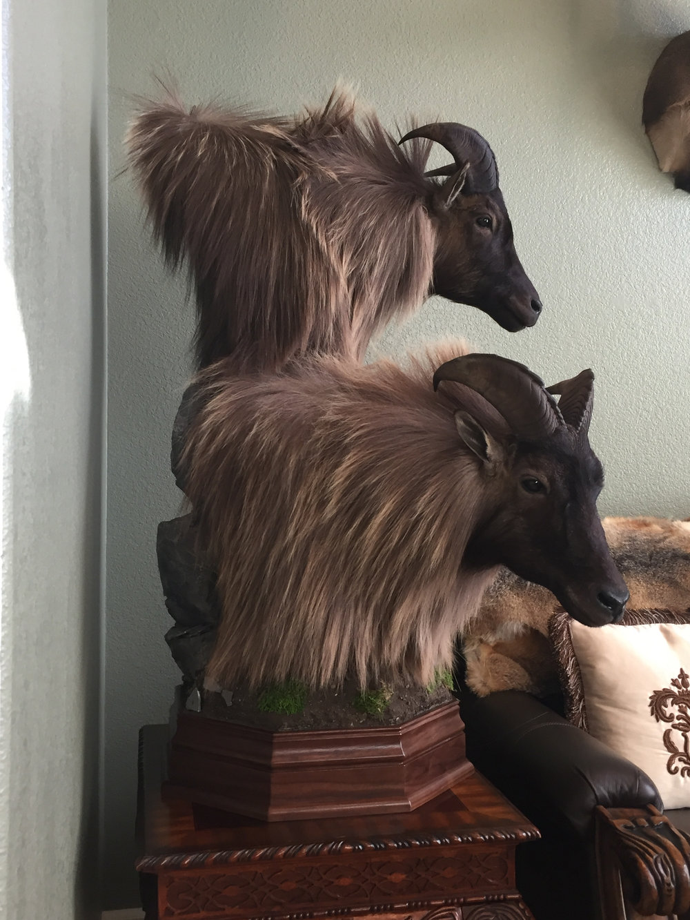 Double pedestal Tahr mounts from the 2016 season , back home in Reno, Nevada.  Both bulls hunted on foot.