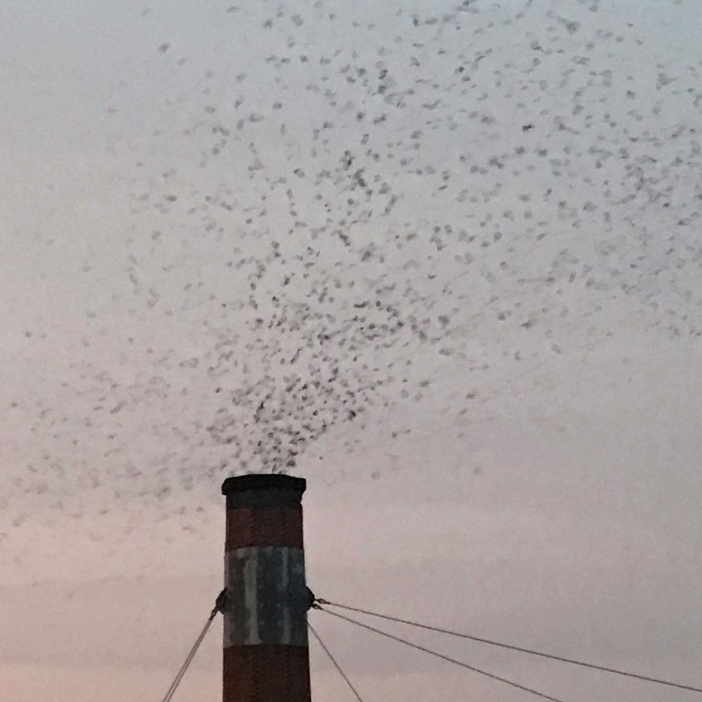 And suddenly the Swifts begin dropping into the chimney.