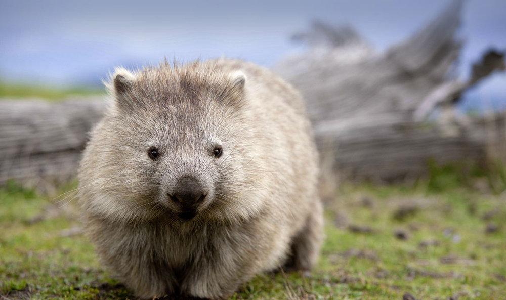 wombat-landscape1 (1).jpg