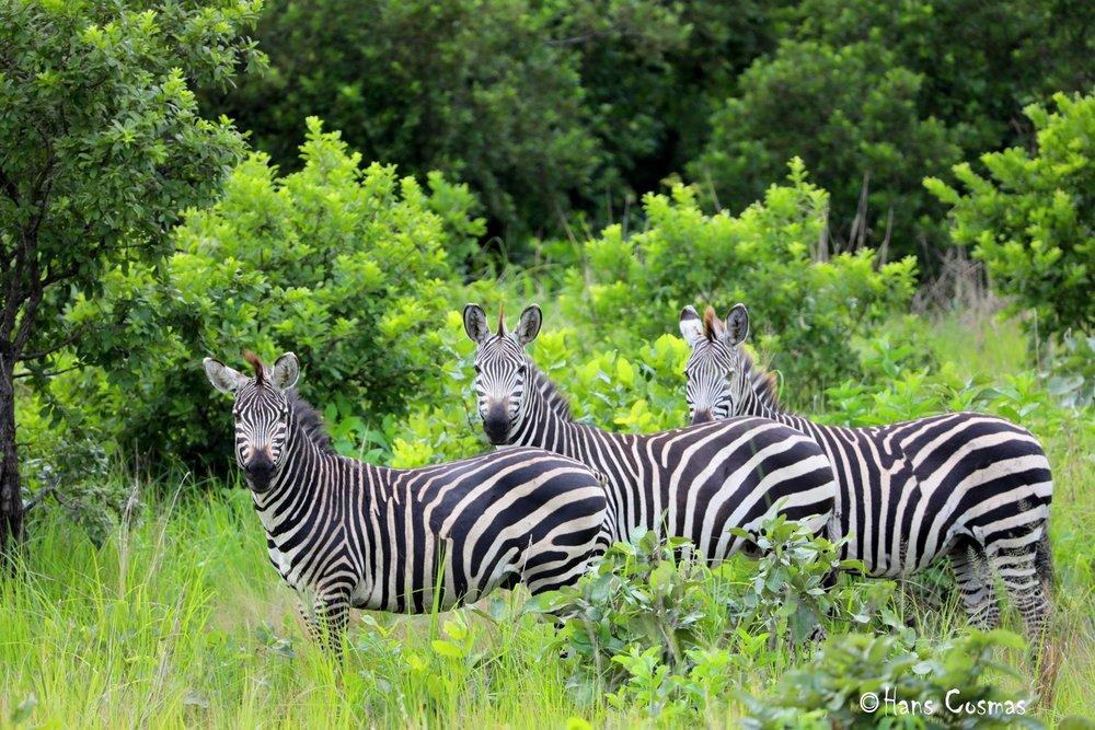 2-Zebra.jpg