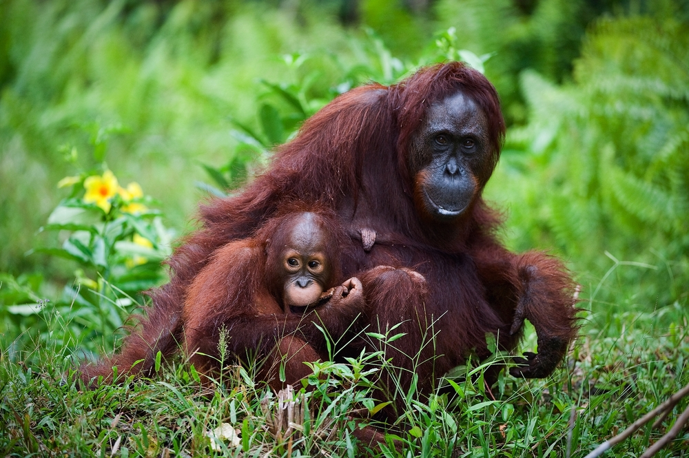 Endangered Indonesian animals