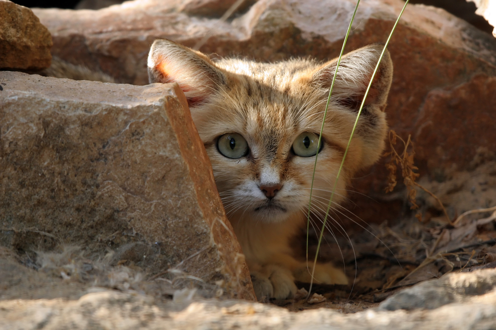 The smallest wild cats in the world