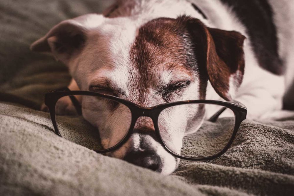 Dog asleep wearing glasses