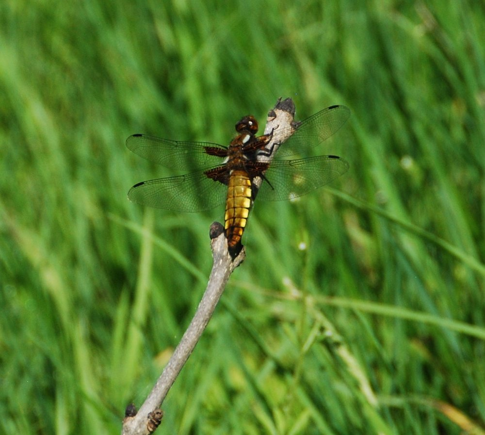 It's May, and the 'Broad Bodied Chaser' is an early dragonfly to emerge