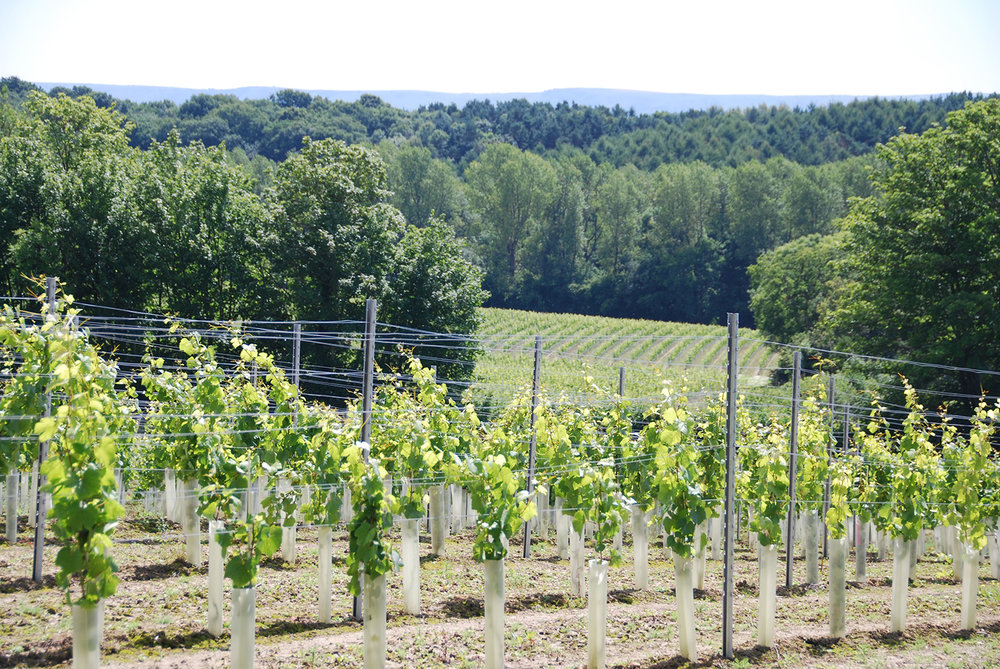 Vines in June are vigorously reaching for the top wire