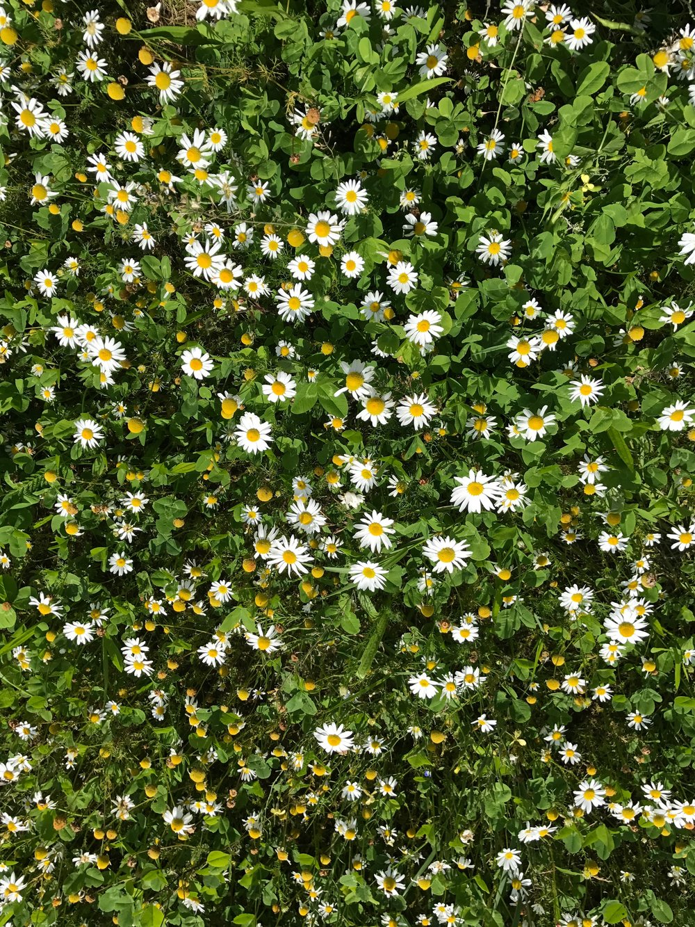 Our ox-eye daisies are thriving!