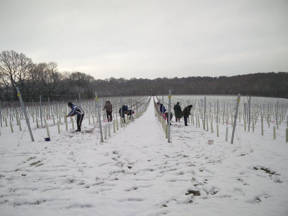 The snow hasn't put a complete stop to pruning and band tying