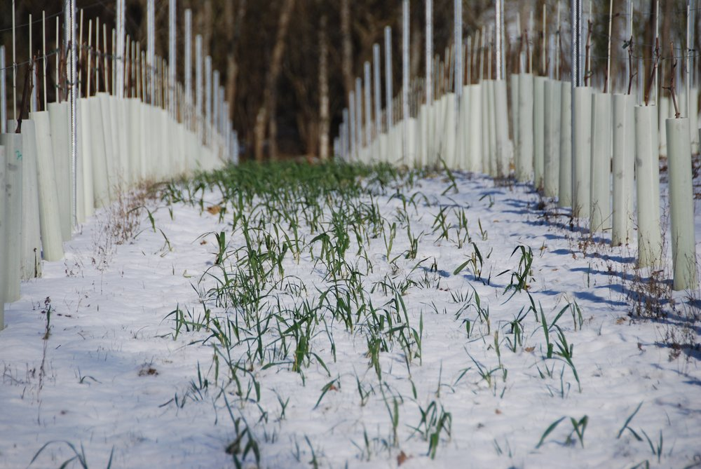 As the snow thaws the spring oat becomes visible again!