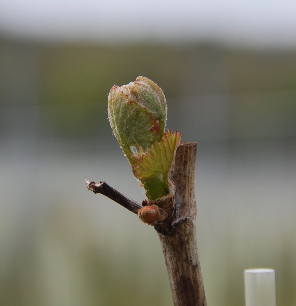 The onset of budburst marks the beginning of Spring in the vineyard. Fingers crossed now for no frosts!