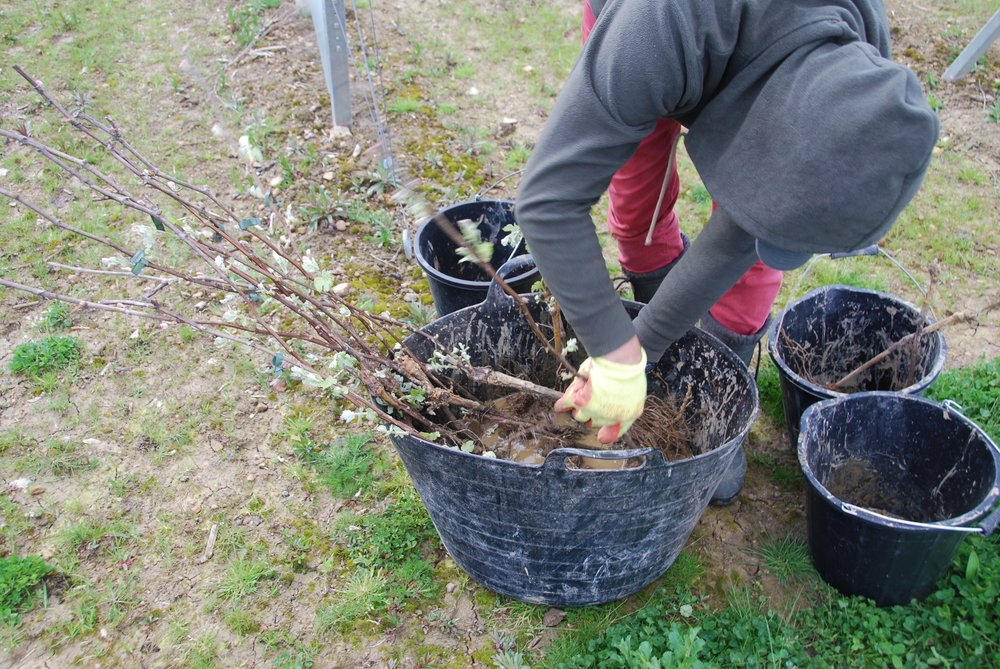 As well as planting new vines, we have been transplanting mature vines where we have decided to do some trellis adjustments.