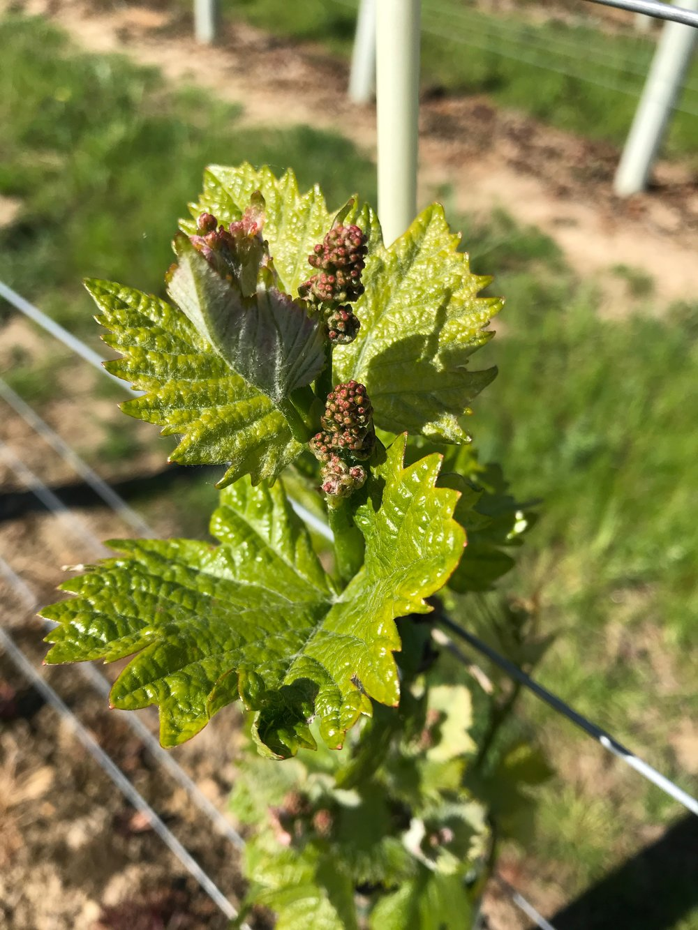 Inflorescences are now visible and developing. All being well, later in the season they will flower and develop into our first grape clusters!