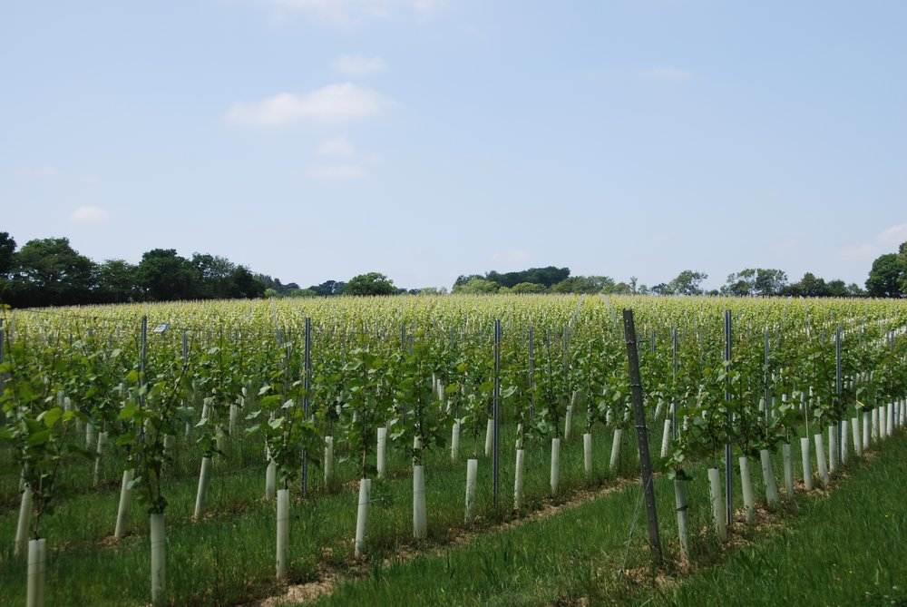 The first set of wires has been lifted which allows the vine to be organised on the trellis and prevents any canes from snapping either under their own weight or by being knocked by passing traffic.