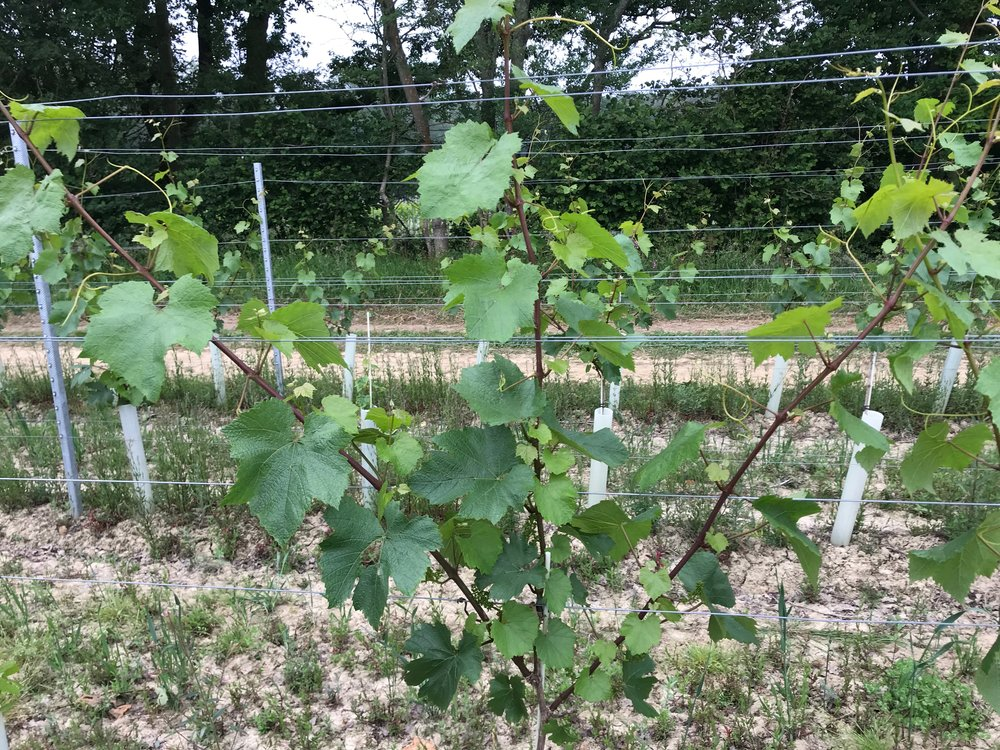 After bud-rubbing we are mostly left with three shoots per vine. Next year we will tie down the highest shoot as our fruiting cane and prune back the two lower shoots to create two-bud spurs.
