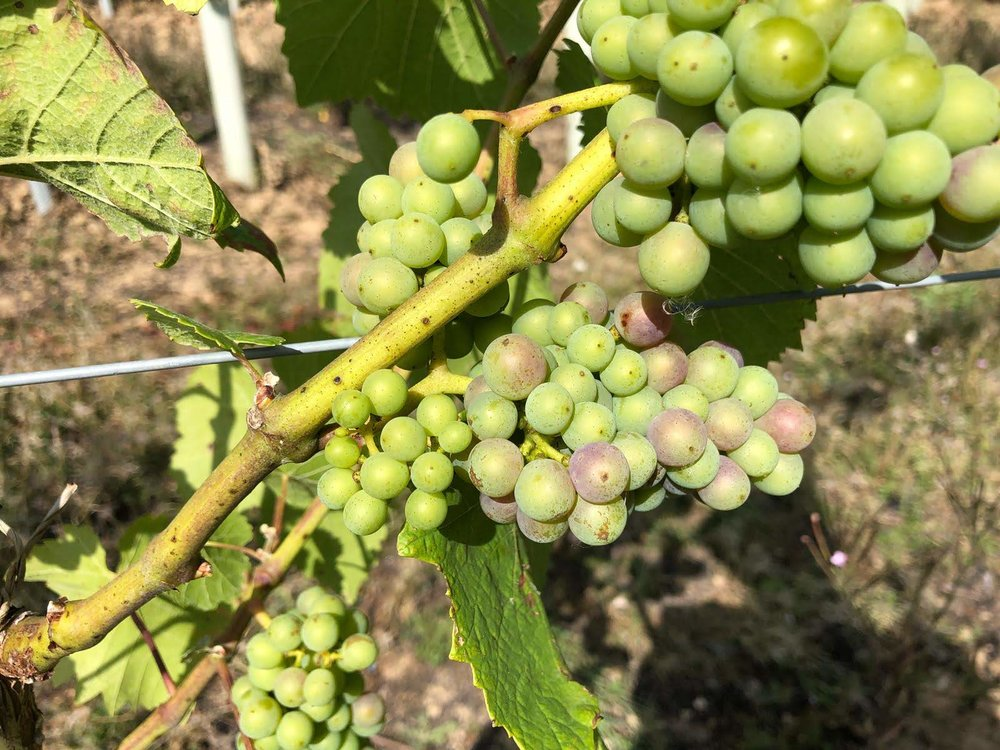 The first signs of veraison in our Pinot Noir!