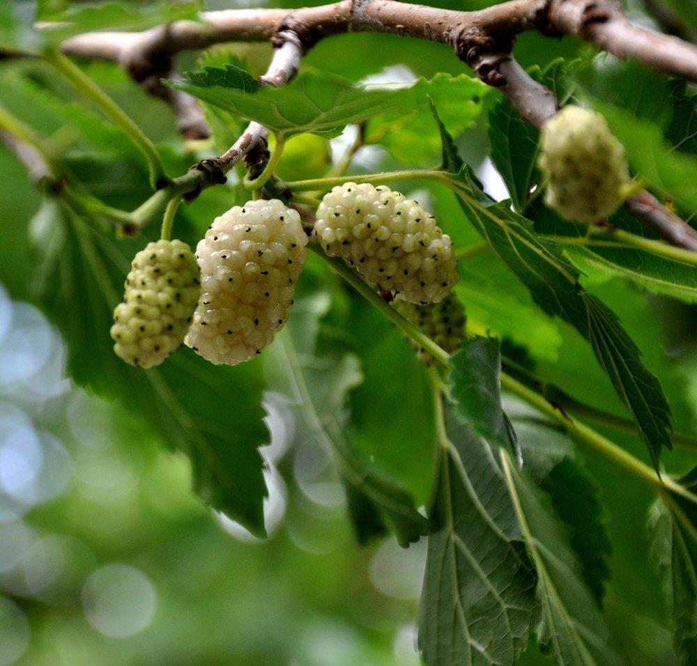Mulberry : Brighten!