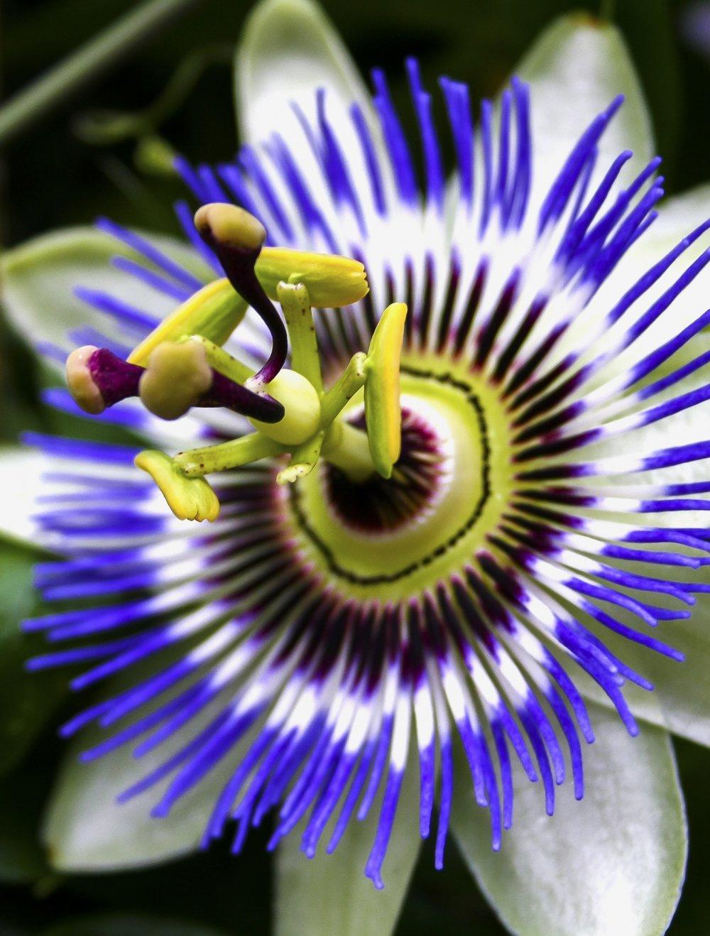 Passion Flower : Refresh!