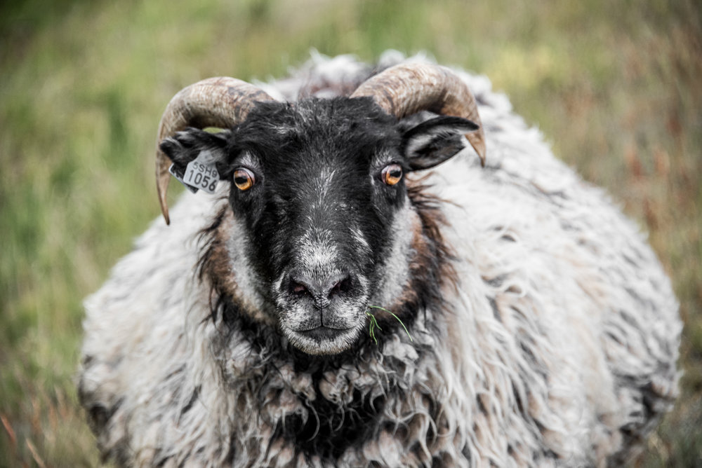 The many, many sheep can be a little intimidating up close, but proved harmless.