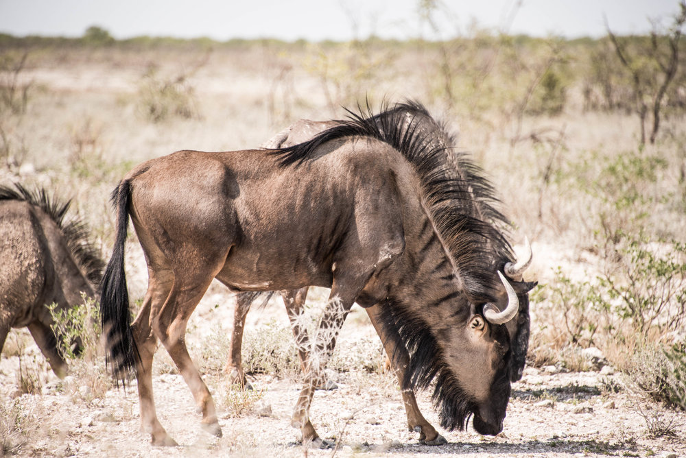 Wildebeest are the least of our concerns in eastern Africa. Though very few travelers are actually injured by wildlife, cycling through remote stretches of lion, elephant, and hippopotamus country isn't exactly comforting to think about.