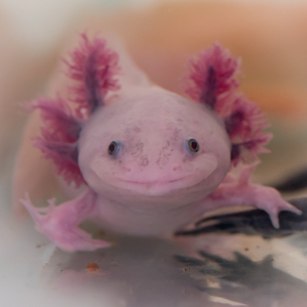 Ambystoma mexicanum (leucitic)