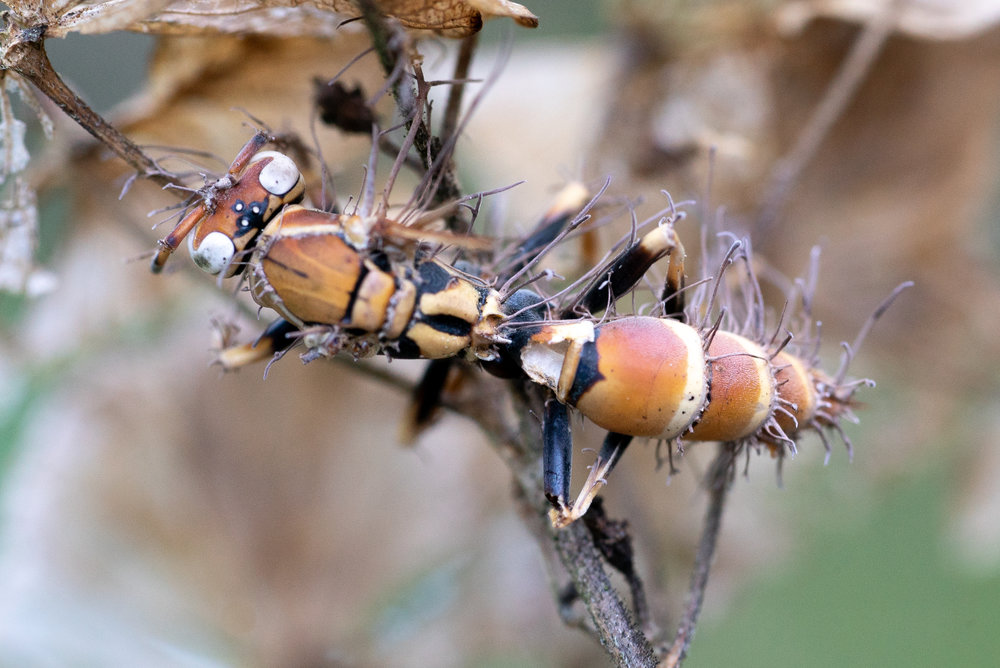 Wasp + Cordyceps