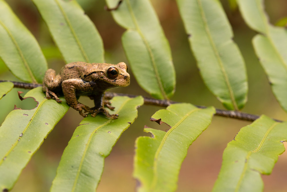 Cusuco Spike Thumbed Frog (Plectrohyla dasypus)