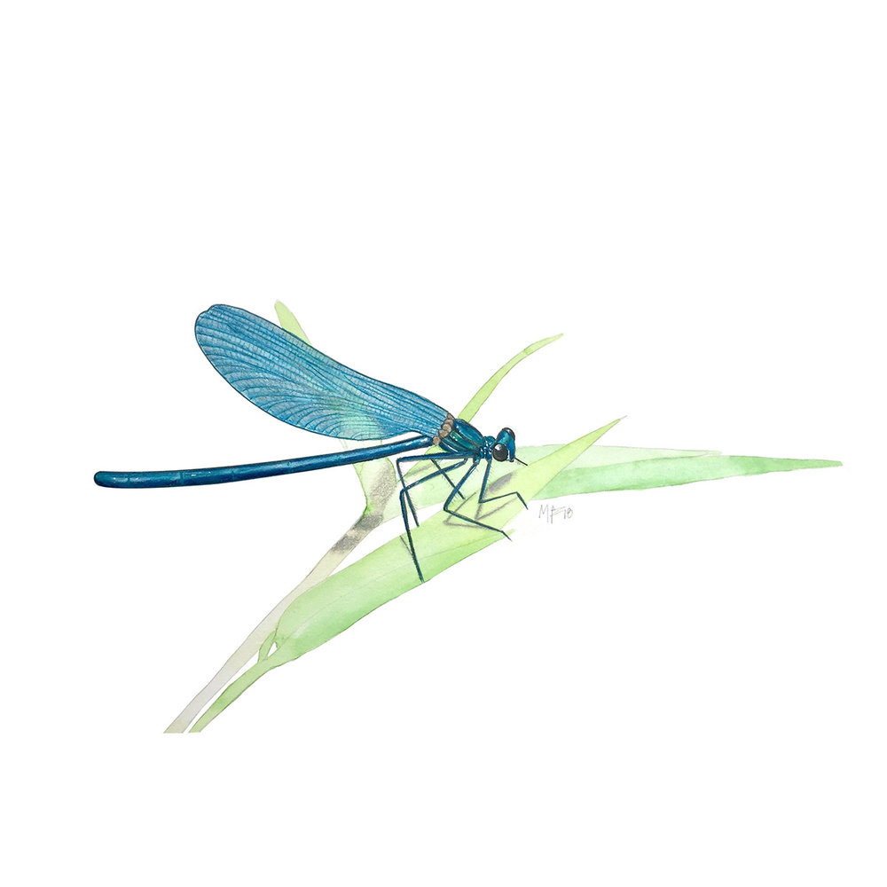 A blue dragonfly ( Anisoptera ).