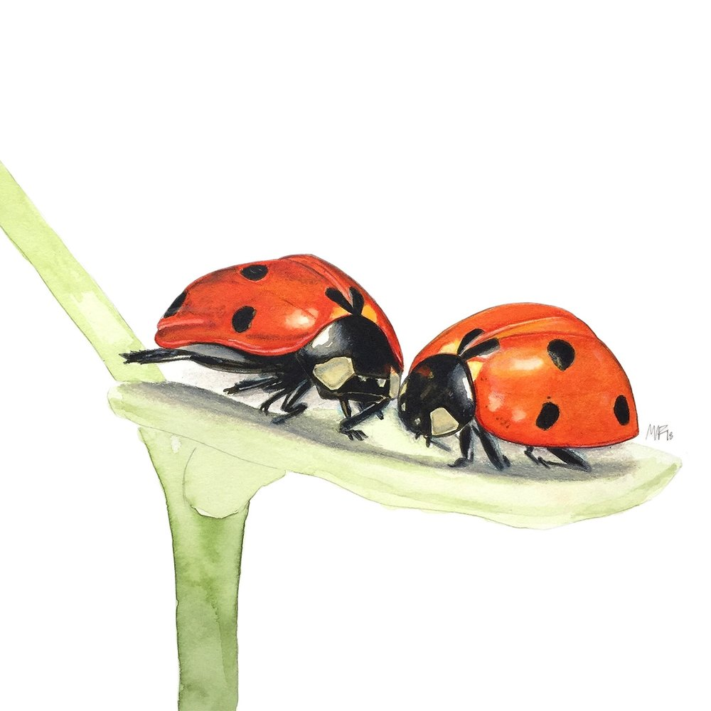A couple of cuddling ladybirds ( Coccinellidae ).