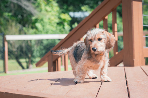 The Puppy Pre-School   FIVE WEEK COURSE   $90