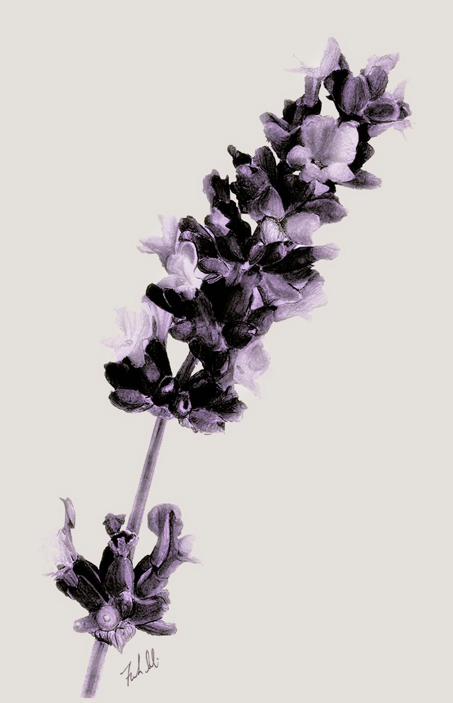 Lavanduleae lavandula (Lavender) - Freelance work