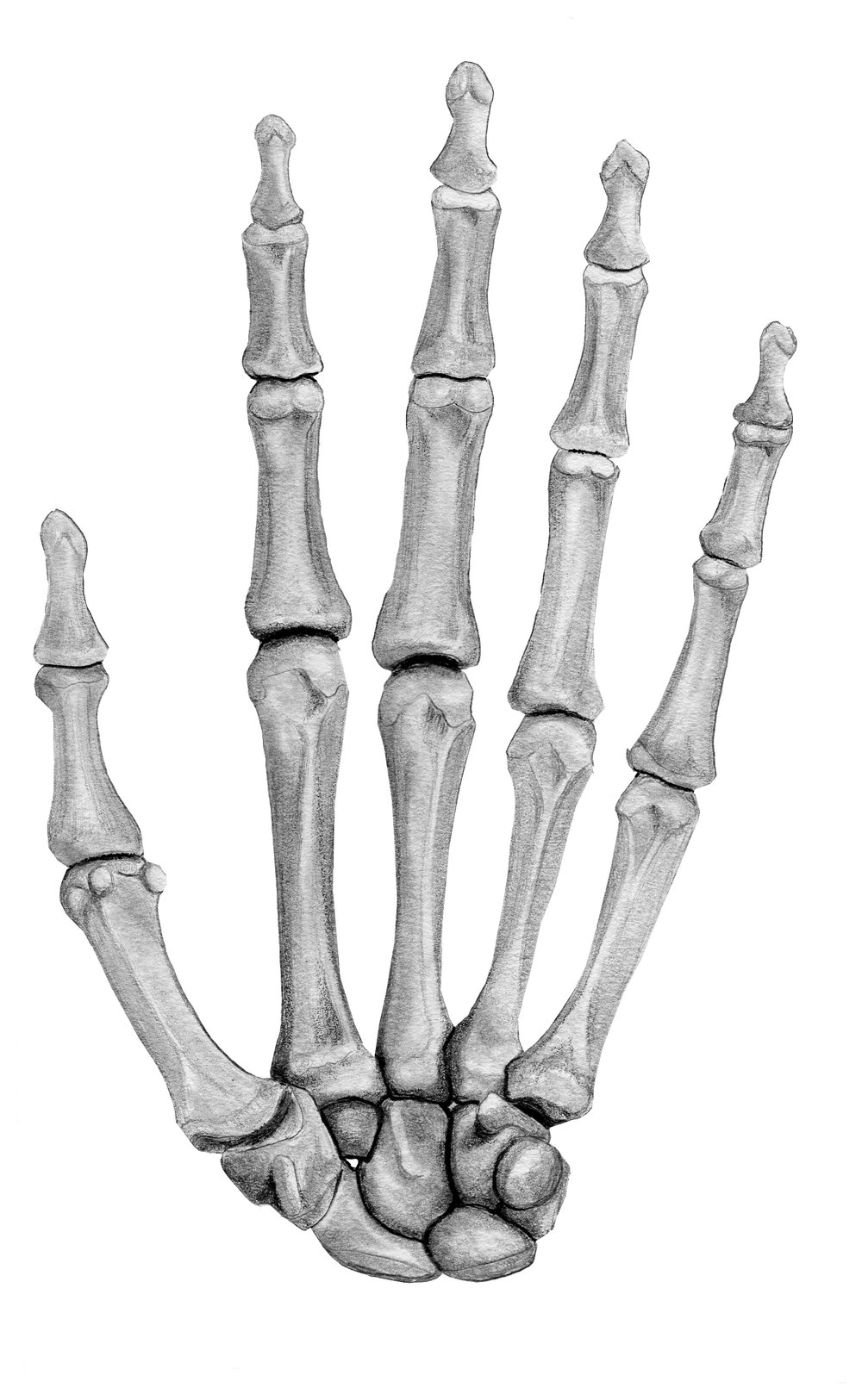 Anterior Hand; Skeletal