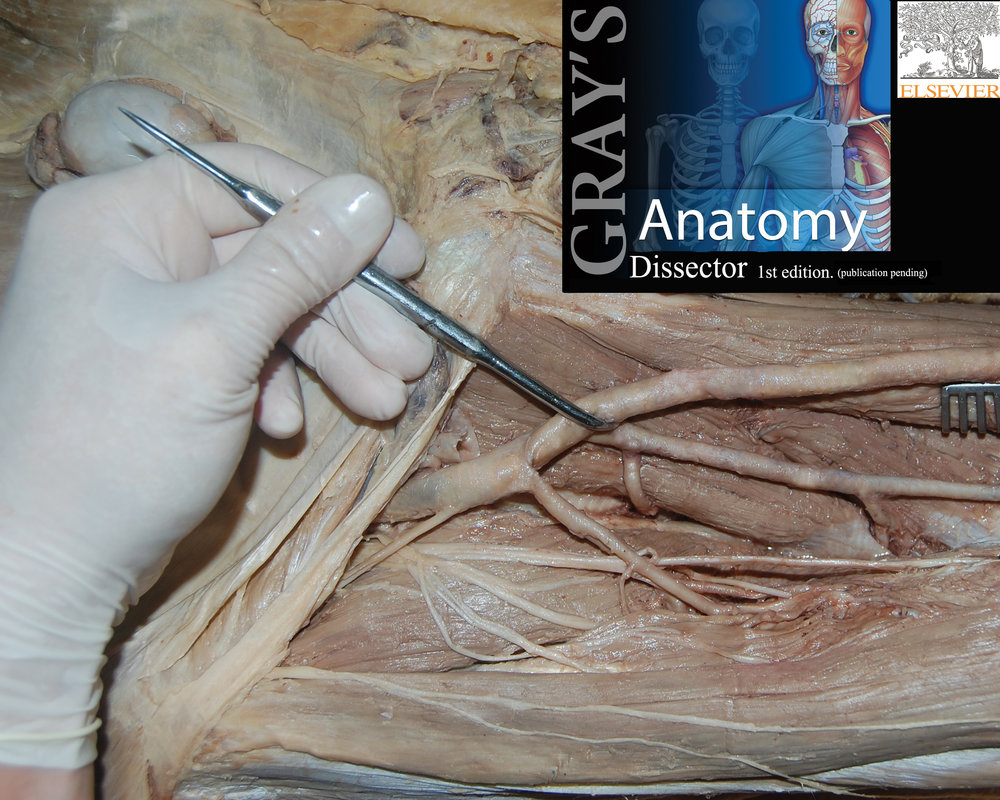 Anterior Thigh Dissection