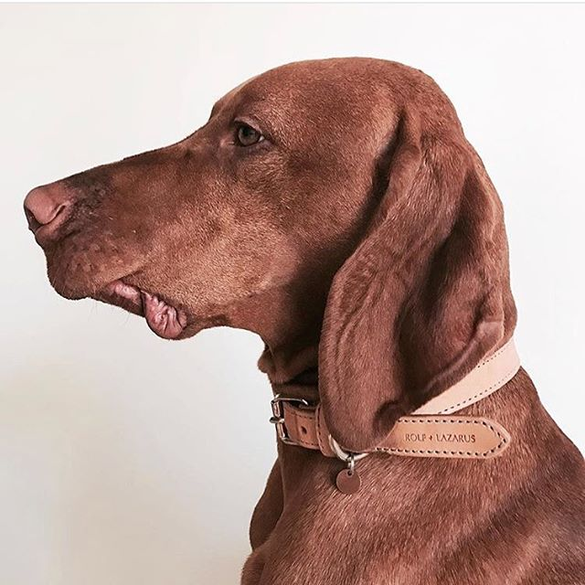 Current mode ☁️ Repost @dumbothevizsla wearing our Vesterbro Natural Collar 🌱#rolfandlazarus