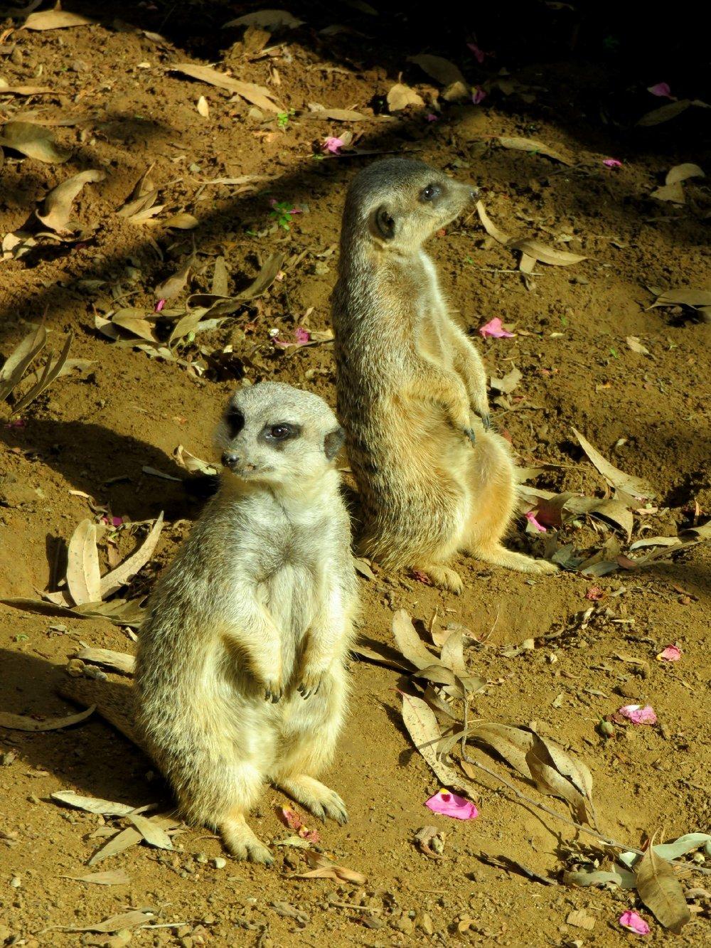 Slender-tailed Meerkat