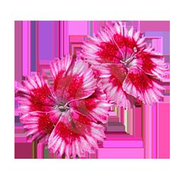 Dianthus Flower.png