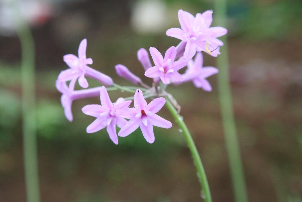 Purple Garlic Flower.JPG