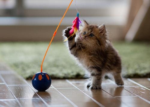 Cat_play.jpg
