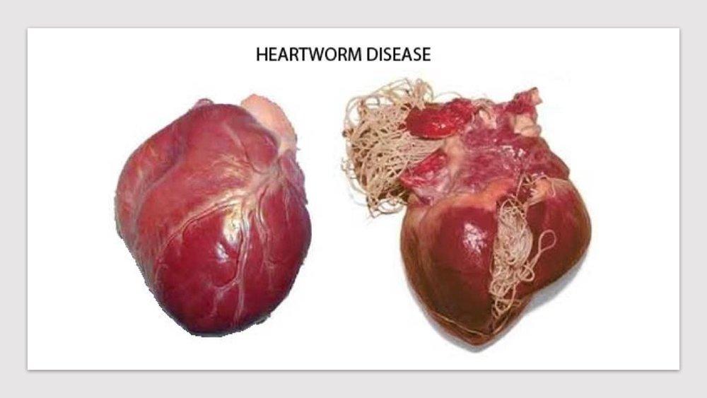 Heartworm-disease.jpg