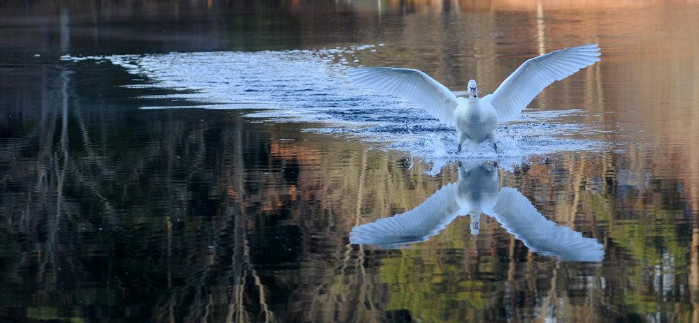 Swan.1.JPG