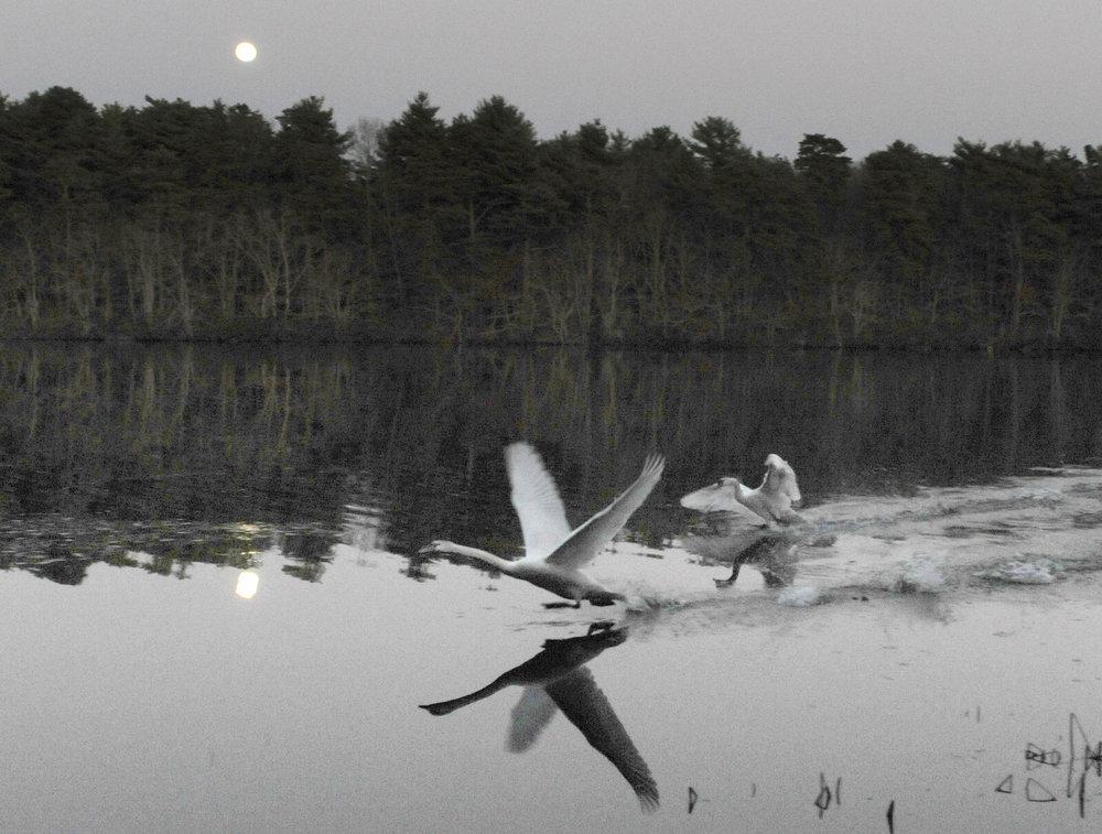 Swan_Feature.jpg
