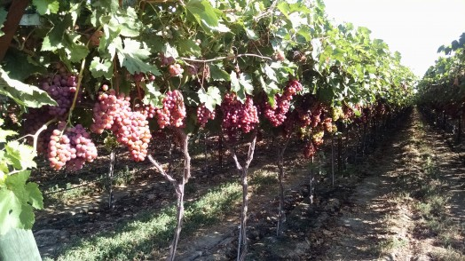 Table Grapes 30% Increase in yield