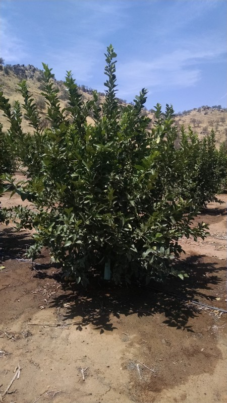 Lazy S Lemons at 18 Months produced 800# per acre