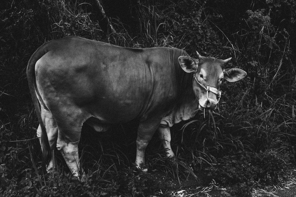 she bull.jpg