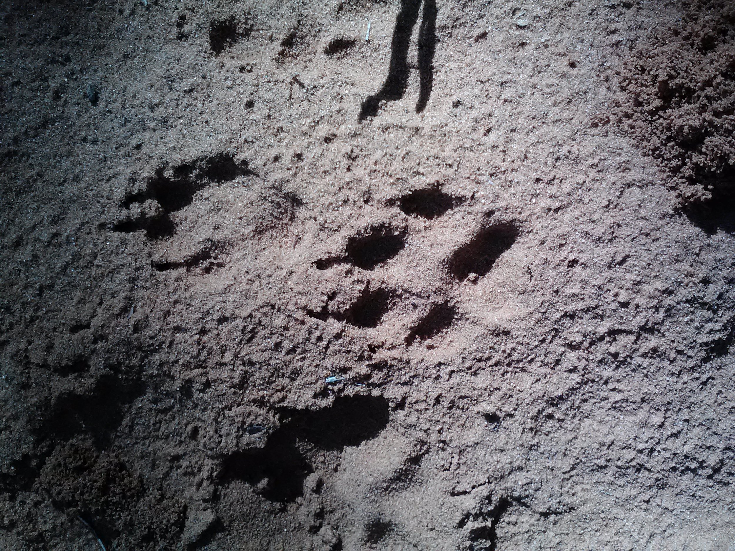 big paw prints