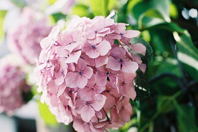 Rainy season beauty #hydrangea #flowers #japan #rainyseason #kobe #あじさい #花 #梅雨 #神戸 #フィルム #filmisnotdead #film