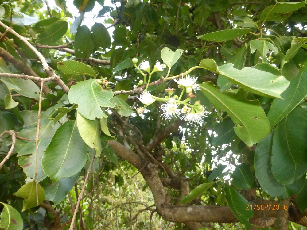 Zyzygium guineense var macrocarpum