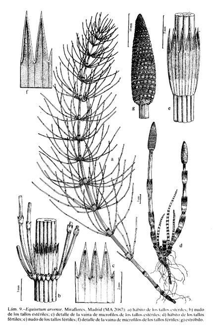 Equisetum_arvense_FIL.jpg